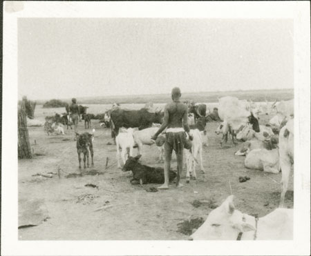 Nuer cattle camp milking