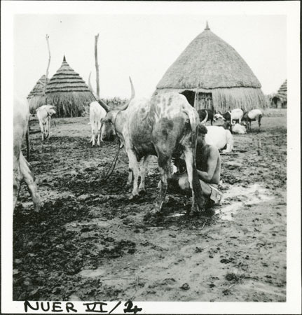 Nuer woman milking