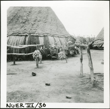 Nuer maize crop