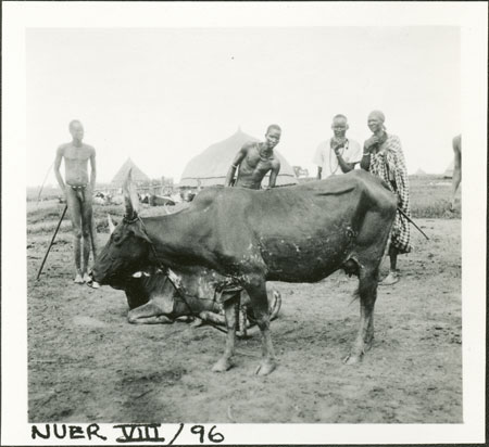 Nuer cow