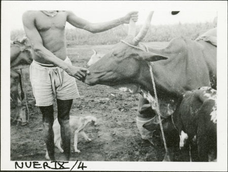 Holding Nuer cow