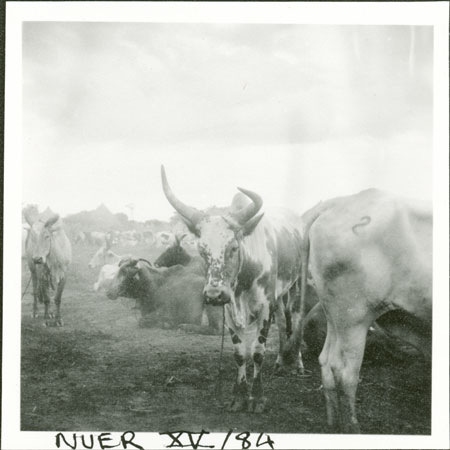 Nuer ox with trained horn