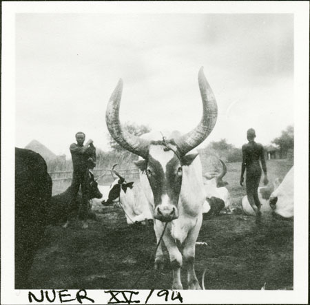 Nuer ox