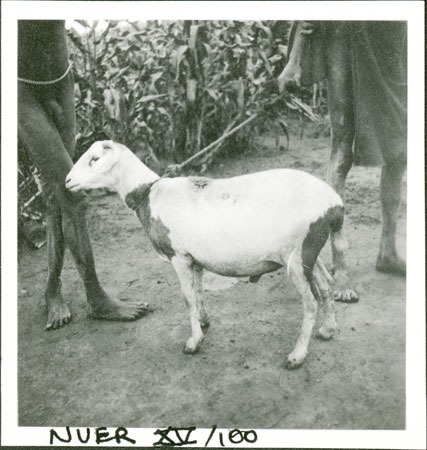 Nuer sheep for sacrifice