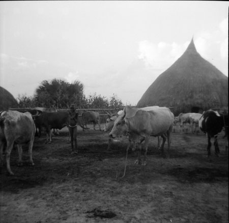 Nuer homestead with cattle