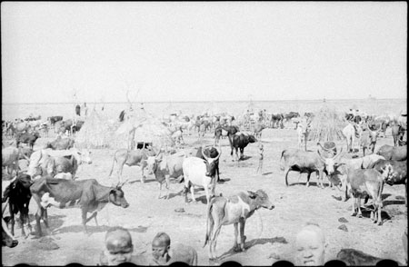 Nuer cattle camp